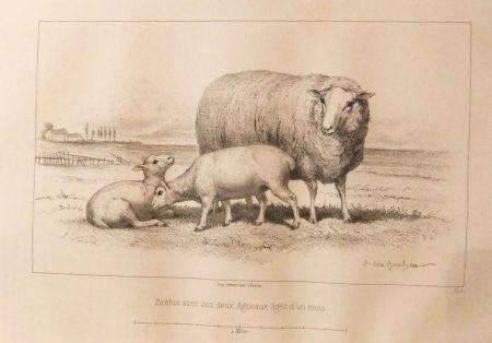 Illustrated Book Bonheur - Considérations sur les bêtes à laine au milieu de XIXe siècle, et notice sur la race de la charmoise