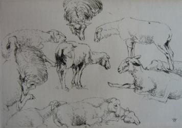 Etching Vergé-Sarrat - Etudes de moutons / Studies of Sheep