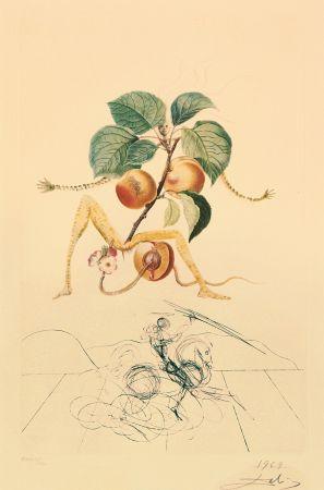 Etching Dali - Flordali - Abricot Chevalier