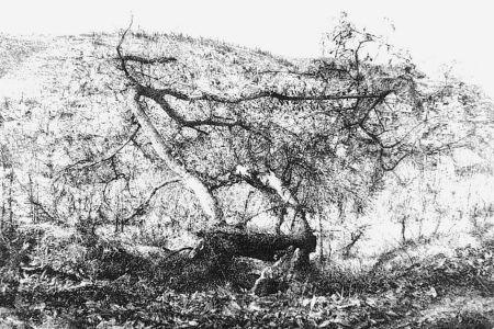 Engraving Barbisan - Il castagno morto
