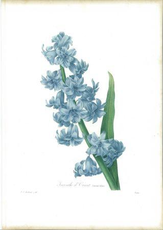 Engraving Redouté - Jacinthe d'orient (variété bleue)