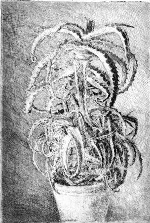 Engraving Barbisan - Pianta grassa