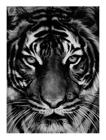 Mezzotint Longo - Tiger
